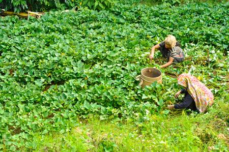 arrodillarse: Toraja, Indonesia - Junio ??2015: Dos mujeres nativas arrodillarse y el trabajo en campo en Toraja, región de Sulawesi, Indonesia. editorial documental.