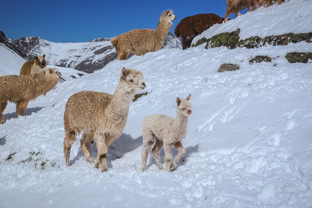 Photo of old and young wild llama in countryside covered in snow in mountainous region of Ausangate in Peru, South America.