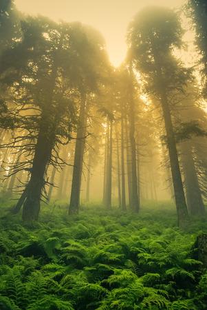 ruzomberok: Photo of ferns and trees in forest covered in morning fog in Cutkovska dolina in Ruzomberok in Slovak Republic.
