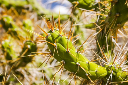 spines: Detailed photo of sharp spines of green cactus in Cuzco valley in Peru.