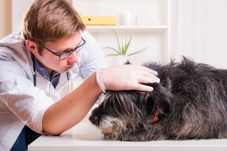 Vet examines the dog's ears in his office Stockfoto