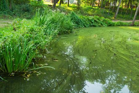 plankton: La vegetaci�n en la orilla del estanque de agua verde, la imagen exterior