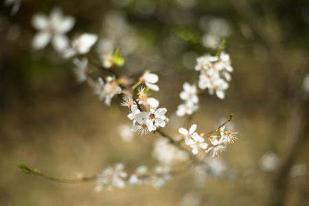 germinación: Flor de cerezo blanco y fragante Foto de archivo