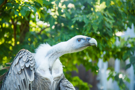 rapprochement: Portrait of a large vulture in Zoo