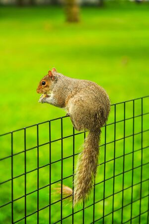 The eastern gray squirrel sitting on fence