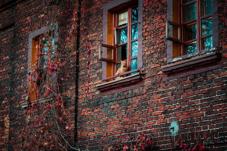 Lodz, Poland: Cat sitting in the window of an old nineteenth-century brick house in a Ksiezy Mlyn district