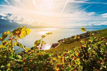 Lavaux, Switzerland: Vine branches ripen in the rays of the sun going down over the lake Geneva, Lavaux vineyard tarraces, Canton of Vaud