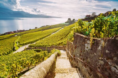 Lavaux Vineyard Terraces hiking trail with Lake and Mountain landscape, Canton Vaud, Switzerland Europe