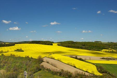 oilseed: Filed of rape