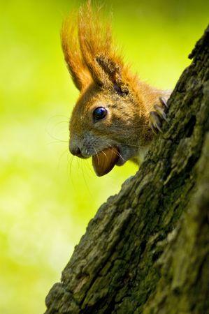 Squirrel  Stock Photo - 2950458