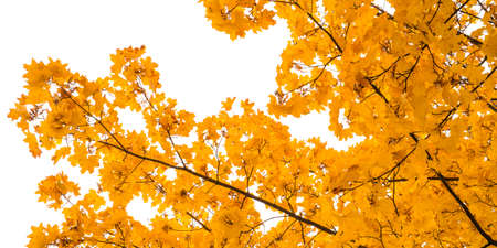 fall colors of maple leaves in the park