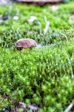 bolete: Bay bolete hiding in mosses. Stock Photo