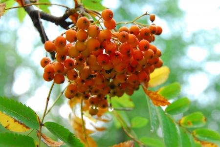 service tree: Jarzebina Ashberry
