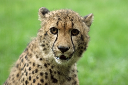 Close-up of a beautiful Cheetah. Stock Photo