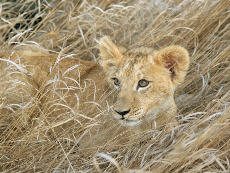 Lion cub laying in grass