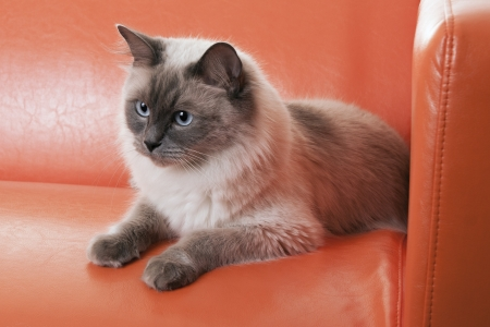 Ragdoll cat lying on modern orange sofa