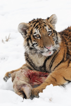 Small Siberian tiger eats prey on snow Stock Photo