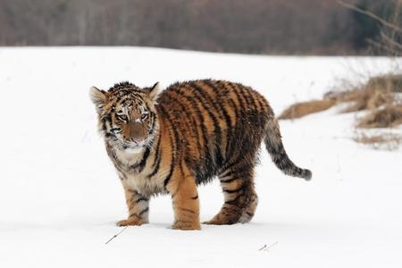 ussuri: Siberian Tiger cub in Snow