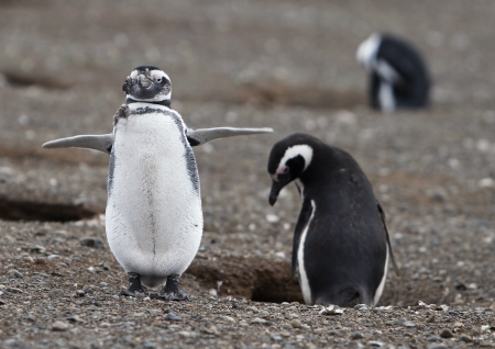 'living organism': Magellanic penguins on Magdalena Island in Patagonia Stock Photo