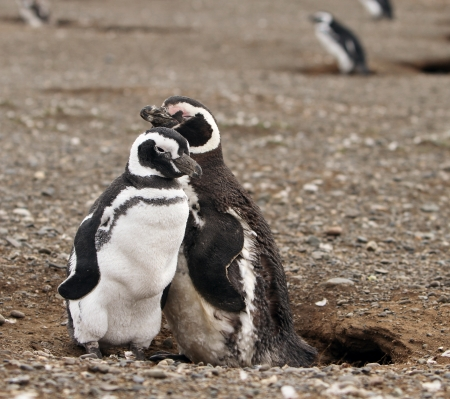 Magellanic penguins on Magdalena Island in Patagonia Stock Photo