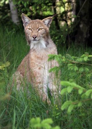 lince: Close-up retrato de un lince eurasiático en el bosque (Lynx lynx)
