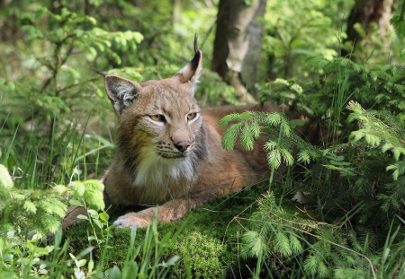 captivated: Close-up portrait of an Eurasian Lynx in forest (Lynx lynx)