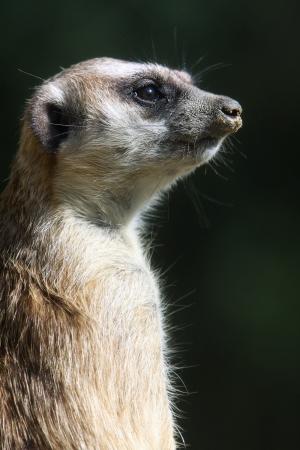 suricatta: Close up of a Meerkat  Suricata suricatta  Stock Photo