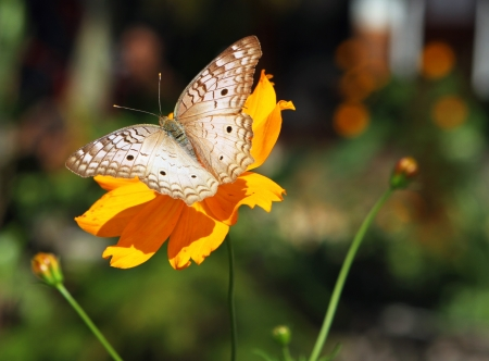 Beautiful south American butterfly (Argynnis) sitting on a yellow plant Stock Photo