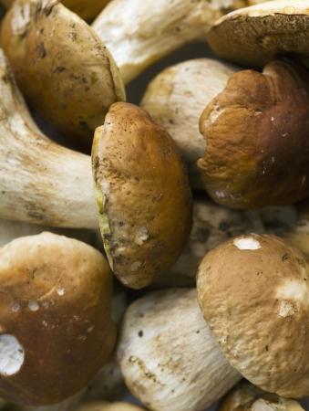 edulis: Group of fresh Boletus Edulis mushrooms