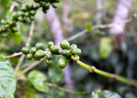 Branch of a coffee tree with unripe fruits photo