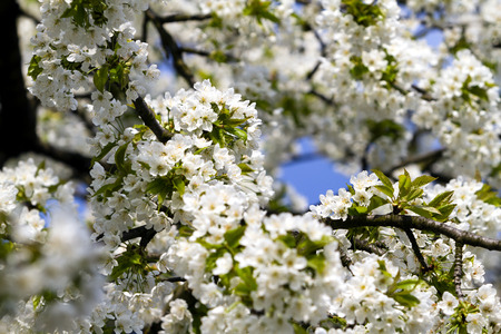 Beautiful springtime cherry blossom with soft bokeh