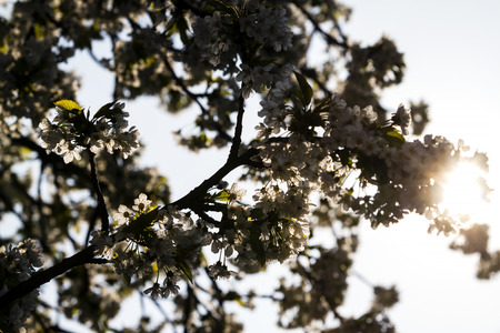Beautiful springtime cherry blossom, sun shining through Stock Photo