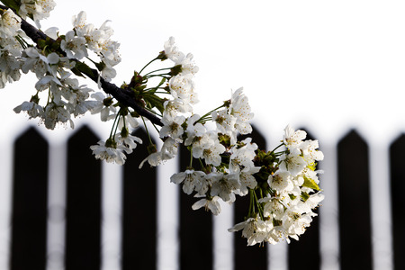 Beautiful springtime cherry blossom with fence in background, copy space