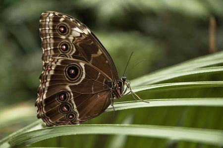 Butterfly Morpho peleides photo