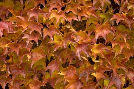 leafage: Autumnal leafage Stock Photo