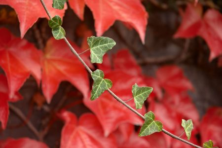 leafage: Autumnal sprig with red leafage in the background.