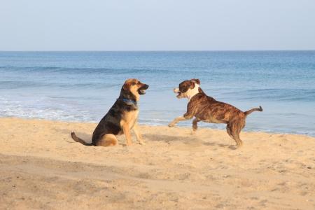 sennen: dogs running on the beach Stock Photo