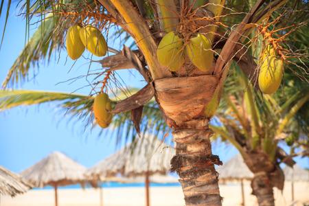 fruta tropical: �rbol verde en una playa de arena blanca en Boavista - Cabo Verde
