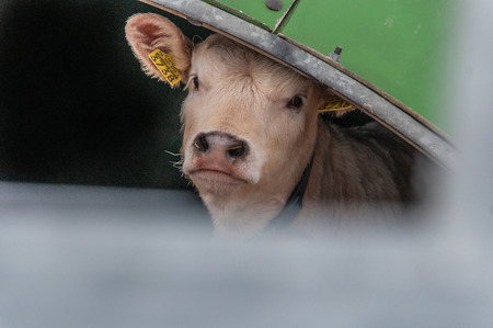 inquiring: An inquiring cow appears