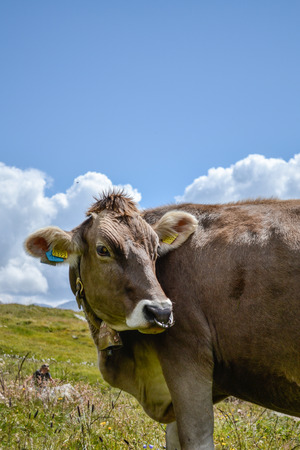 cud: cow on the mountain