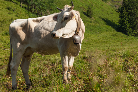dosh: cow in the hig mountain of Italy Stock Photo