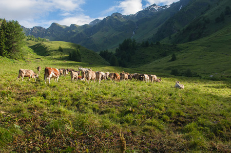 cows in the high mountain of Italy photo