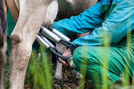 a man takes milk from cows Stock Photo