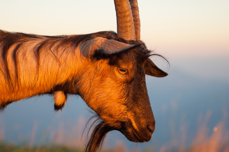 drover: goat