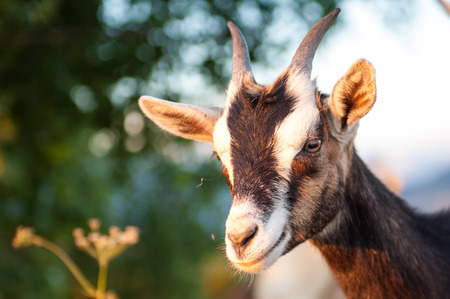 goat cheese: the pasture of the goat