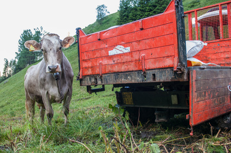 cow in the farm photo