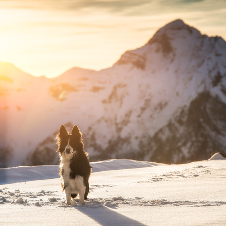 Border collie in the snow photo