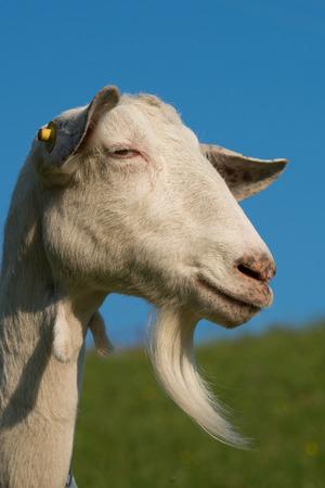 ruminate: Goat with beard Stock Photo