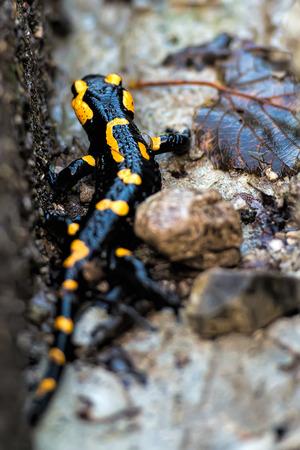 salamandra: salamandra Foto de archivo