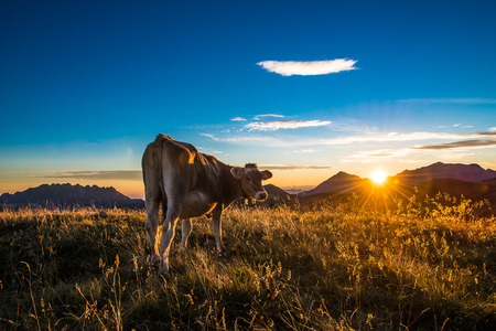Cow at sunset Stock Photo